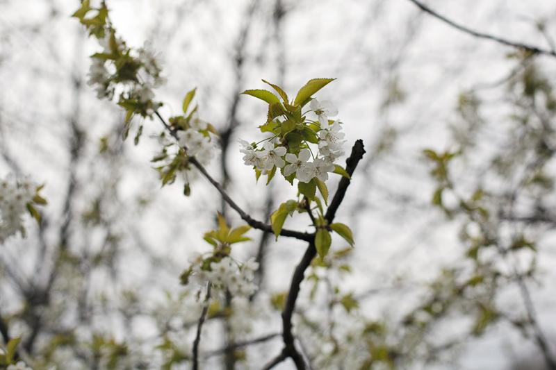 kwitnące drzewa na Wilczej górze